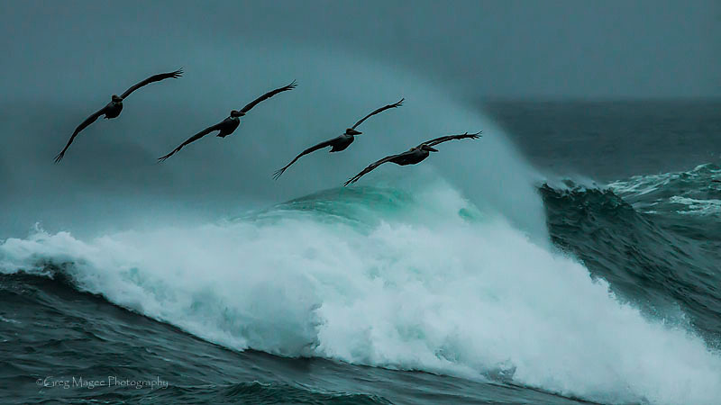 Pelicans catching a wave