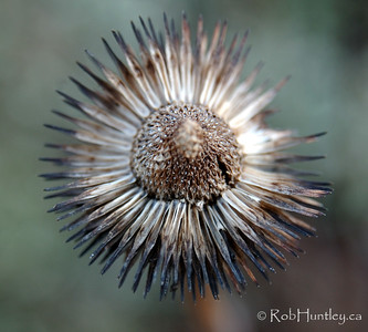 This is the original seedhead image used to create the pinwheel in the previous frame.  © Rob Huntley