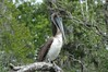 ...horizontal shot of brown pelican at armand bayou canoe trip..