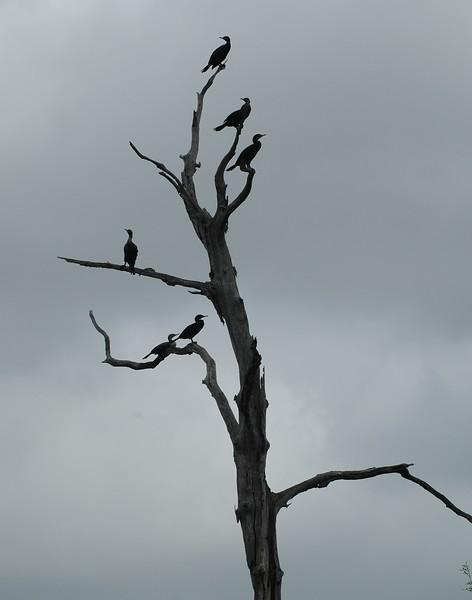 ...cormorants at armand bayou near houston...