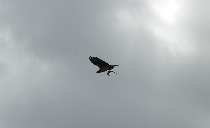 ...i love watching the osprey on armand bayou fish....they are far more successful at it than i am....