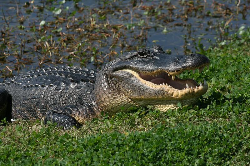 ...aransas pass (texas) sunning gator...