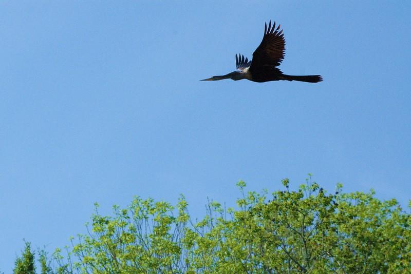 ...cormorant from caddo lake texas...