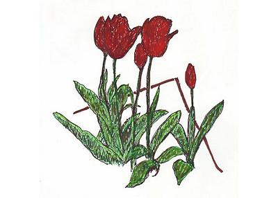 tulips7x5