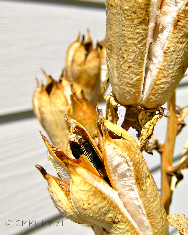 Eventually the pods must dry up & splitt to release their seeds ....