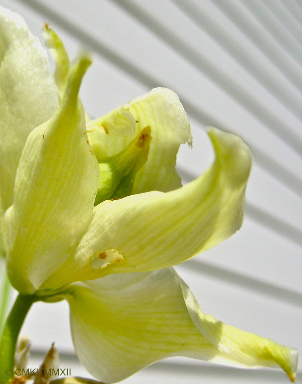 A single, fertilized yucca bloom. A seed pod is forming in it's center.