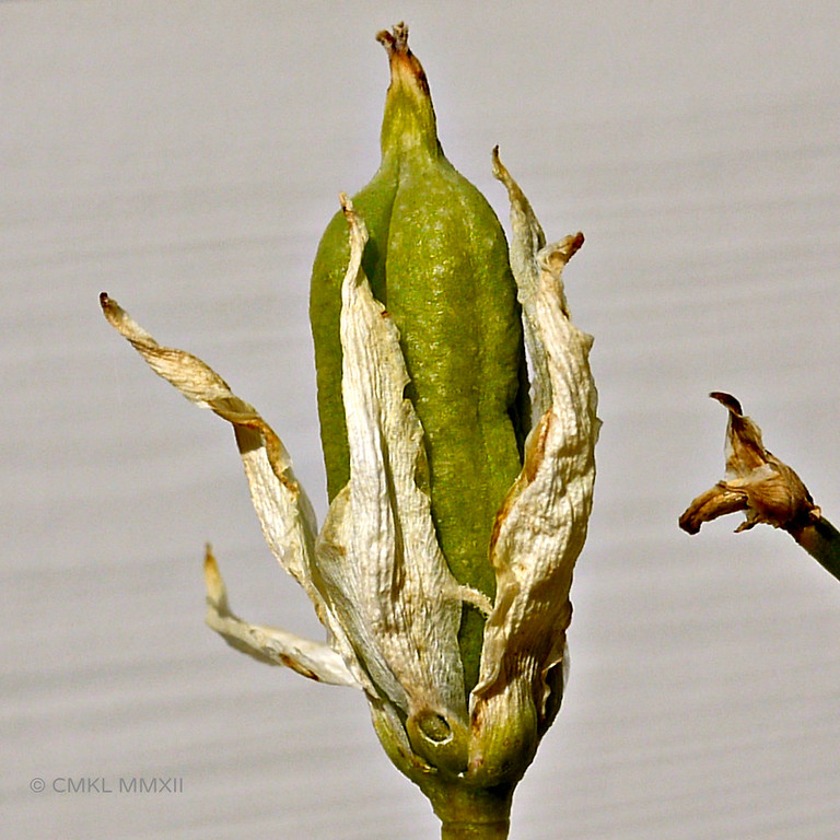 A ripe yucca pod emerges from the withering bloom.