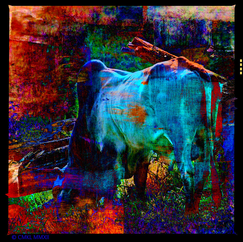 Feeling Blue<br /> Zebu - Brahma<br /> Sacred Cow of India