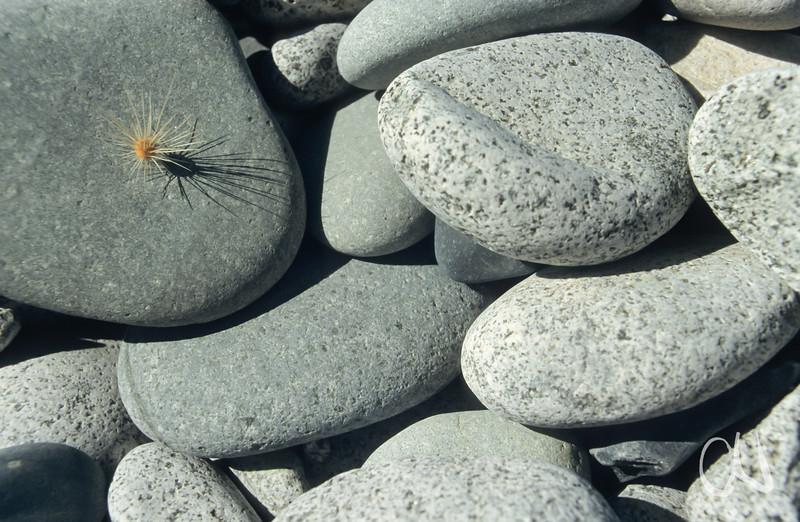 Kaktussamen auf Steinen, Säulenkaktus, Pachycereus pringlei, Baja California, Niederkalifornien, Mexiko, Mexico