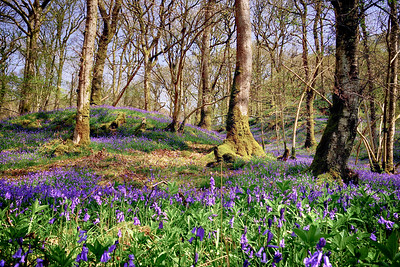 Bluebells Castramon Woods