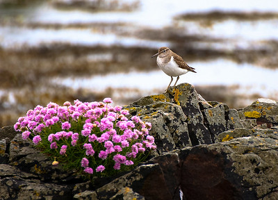 Thrift and Sandpiper