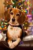 Christmas posing beagle