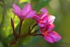 Plumeria May