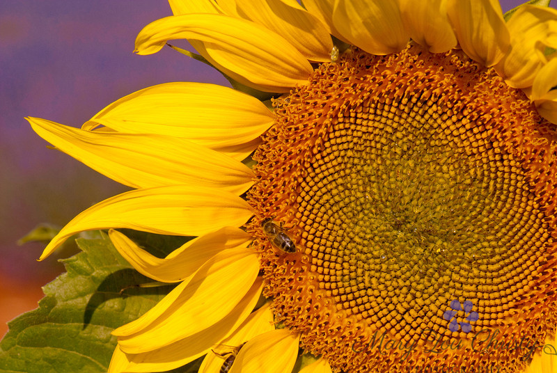 Provence Sunflower