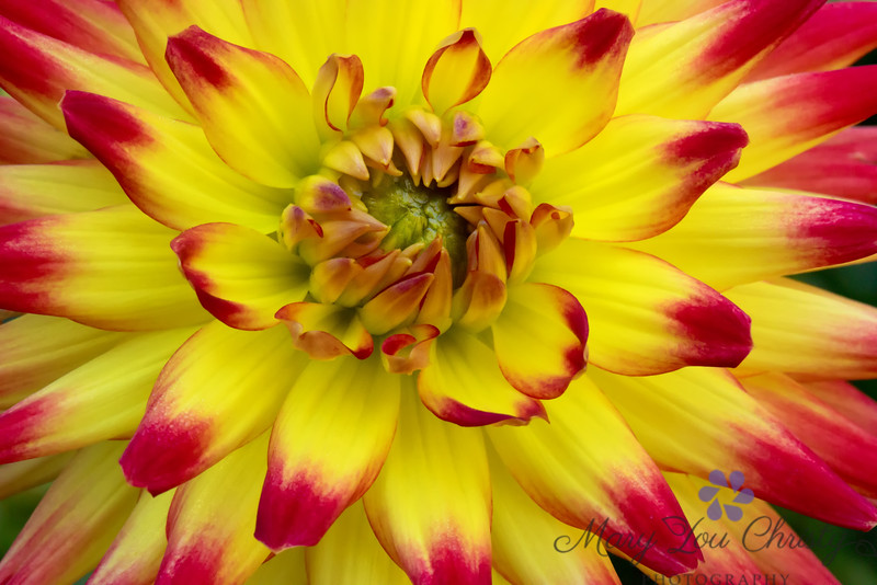 Red and Yellow Dahlia 972