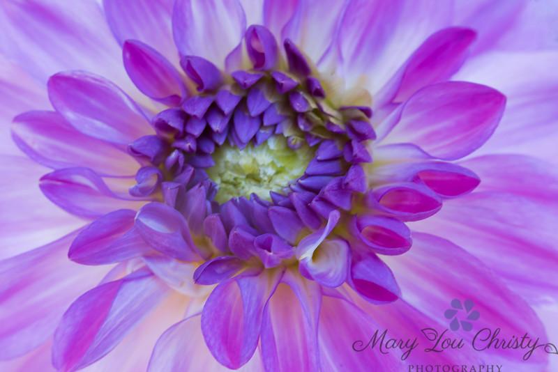 Purple Dahlia 896