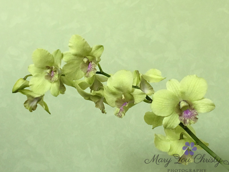 March orchid
