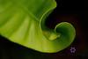 curled leaf