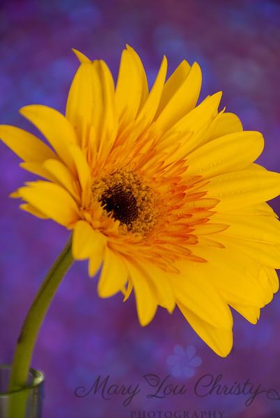 """Joyful"" Gerbera daisy"