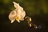 Golden Light orchid