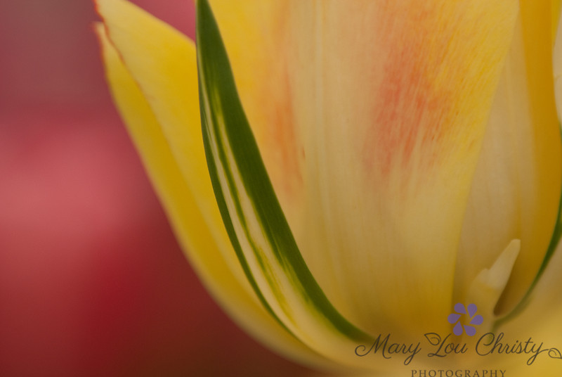 Close up tulip