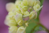 Hydrangea with dew drop