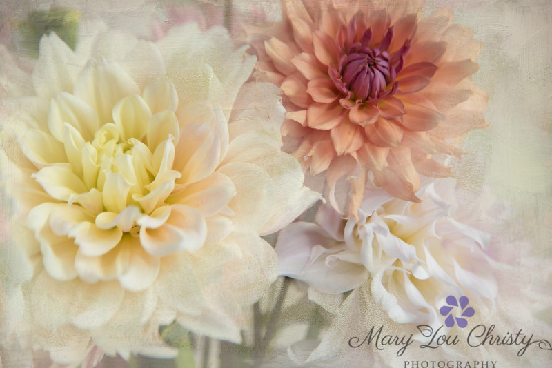 Old fashioned September Dahlias