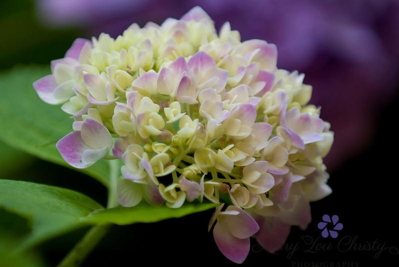 Royal hydrangea.