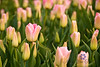 Pink field of tulips
