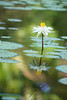 Sunshine single lily