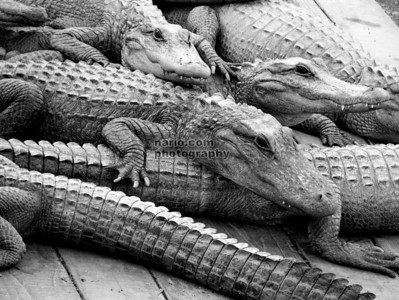 up to my eyeballs in alligators? -- See photo in gallery
