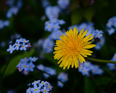 Dandelion and Forget-me-not