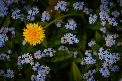 Dandelion among forget-me-nots