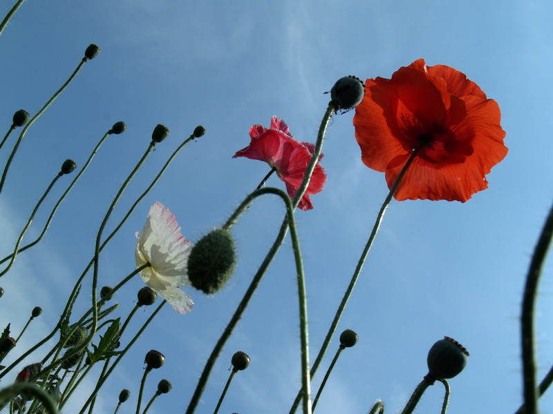Poppies to the sky in NC