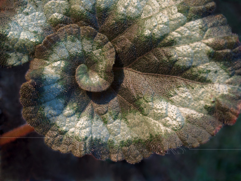 "Escargot Begonia Leaf (Begonia rex ""escargot"")-- houseplant"