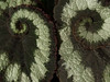 "Escargot Begonia - Begonia escargot (""Rex"")"