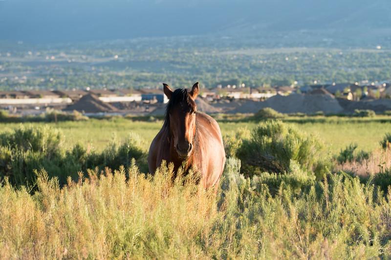 Wild horse of Reno