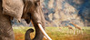 Elephant Safari  14x32