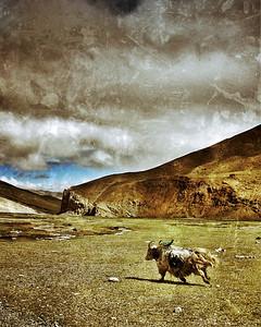 Tibetan Yak, July 2010