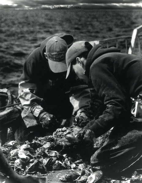 Culling Oysters