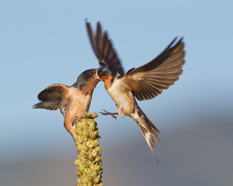 Barn Swallow Feeding 1