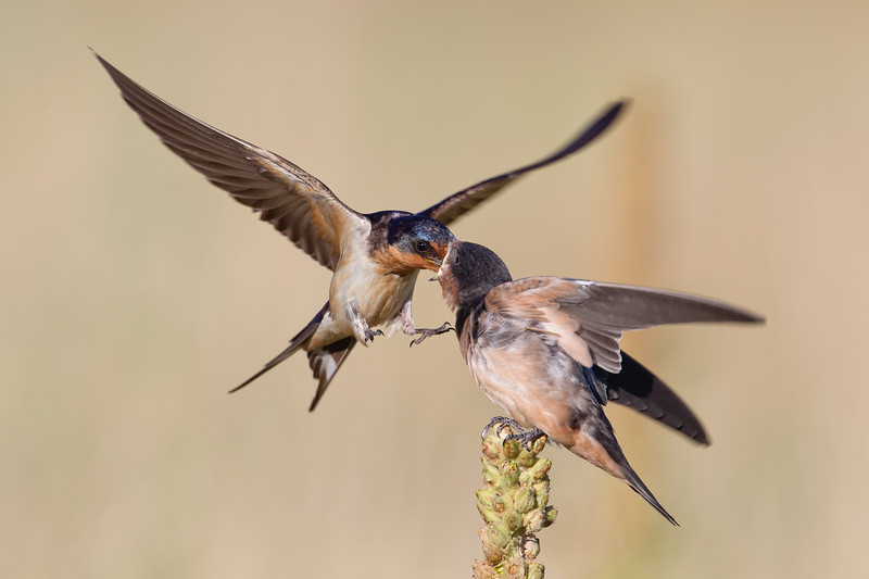 Barn Swallow Feeding 3