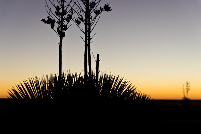 Yucca Morn