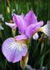 Purple Iris_4024054979_o