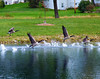 Geese taking off from Lake Montesian in Monticello.