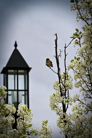 Sparrow_2605