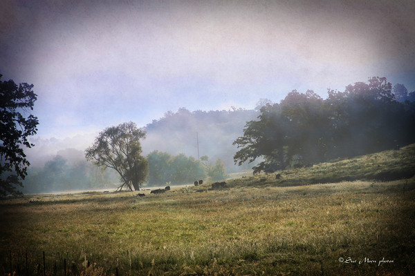 As the fog rises out of the valley, the cows in the meadow enjoy their breakfast.