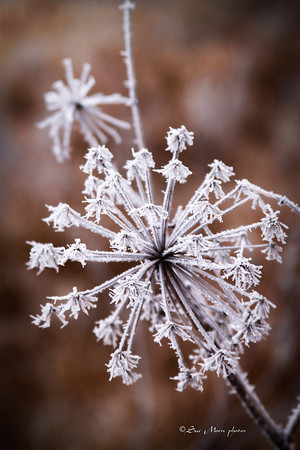Frosty weed_2504