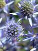 Blue Flowers_4024812914_o
