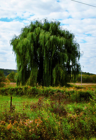 Majestic Willow_5042862440_o